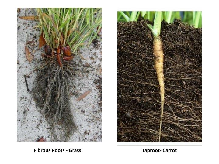 Fibrous Roots - Grass