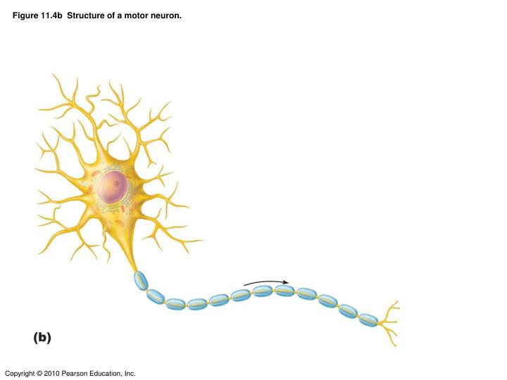 Figure 11.4b  Structure of a motor neuron.