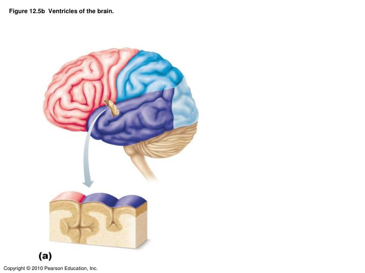 Figure 12 5b ventricles of the brain