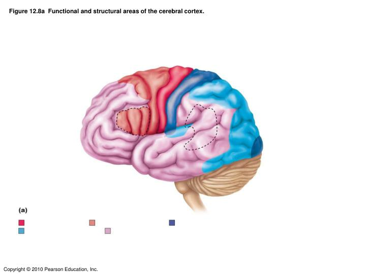 Figure 12 8a functional and structural areas of the cerebral cortex