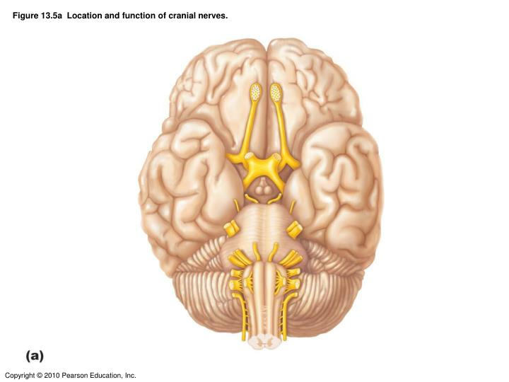 Figure 13.5a  Location and function of cranial nerves.
