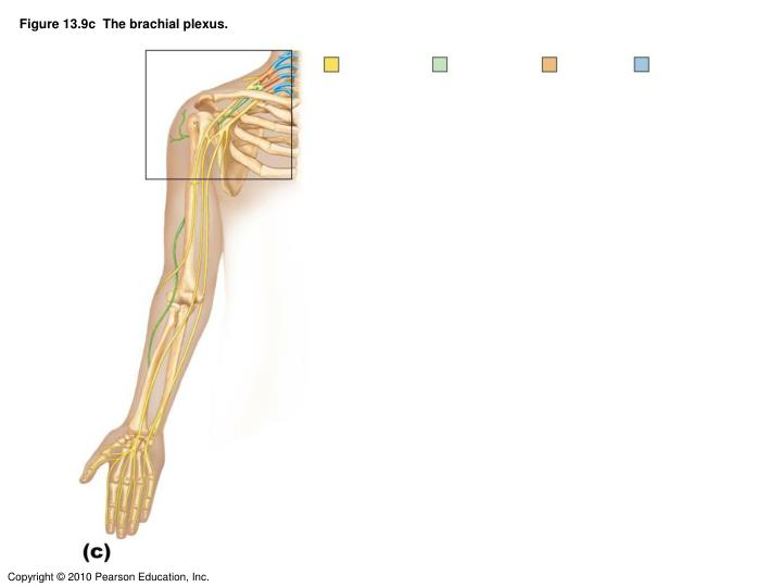 Figure 13.9c  The brachial plexus.