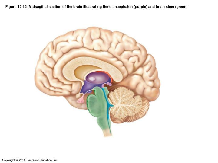 Figure 12.12  Midsagittal section of the brain illustrating the diencephalon (purple) and brain stem (green).