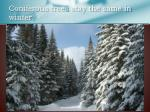 coniferous trees stay the same in winter