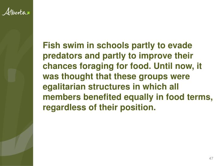 Fish swim in schools partly to evade predators and partly to improve their chances foraging for food. Until now, it was thought that these groups were egalitarian structures in which all members benefited equally in food terms, regardless of their position.