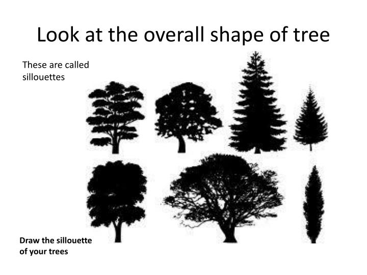 Look at the overall shape of tree