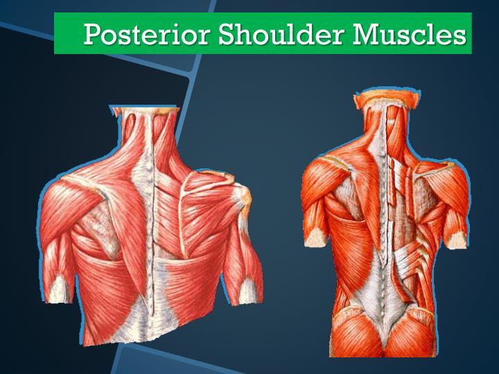 Posterior Shoulder Muscles