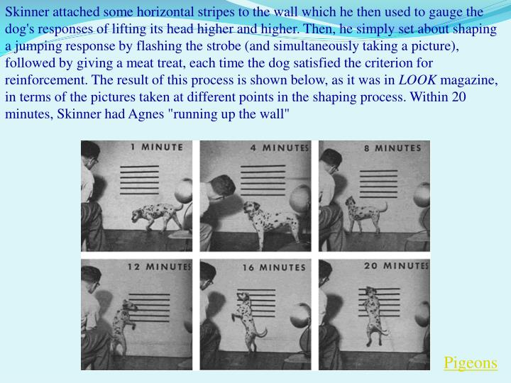 Skinner attached some horizontal stripes to the wall which he then used to gauge the dog's responses of lifting its head higher and higher. Then, he simply set about shaping a jumping response by flashing the strobe (and simultaneously taking a picture), followed by giving a meat treat, each time the dog satisfied the criterion for reinforcement. The result of this process is shown below, as it was in