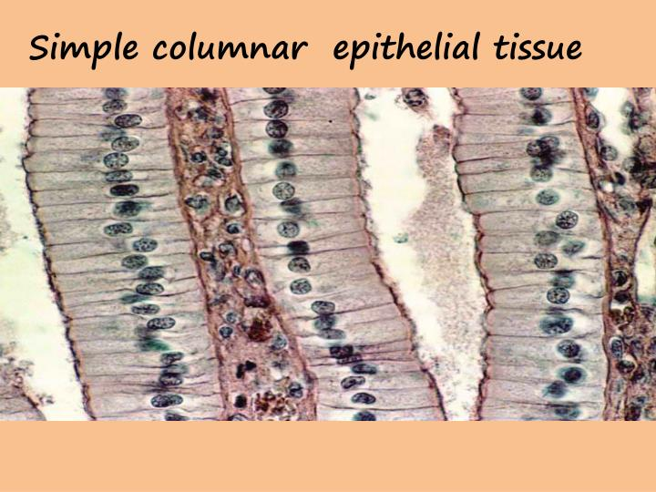 Simple columnar  epithelial tissue