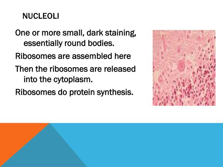 Nucleoli
