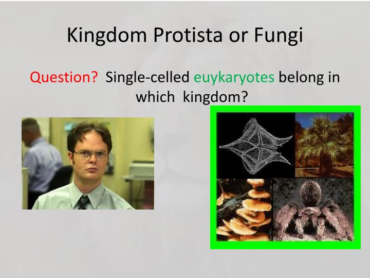 Kingdom Protista or Fungi
