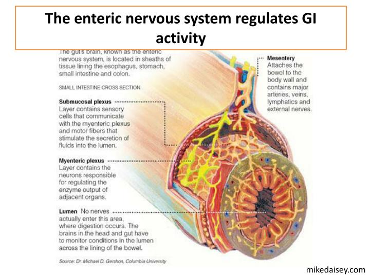 The enteric nervous system regulates GI activity