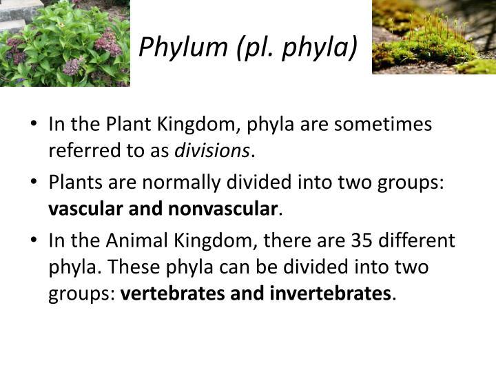 Phylum (pl. phyla)