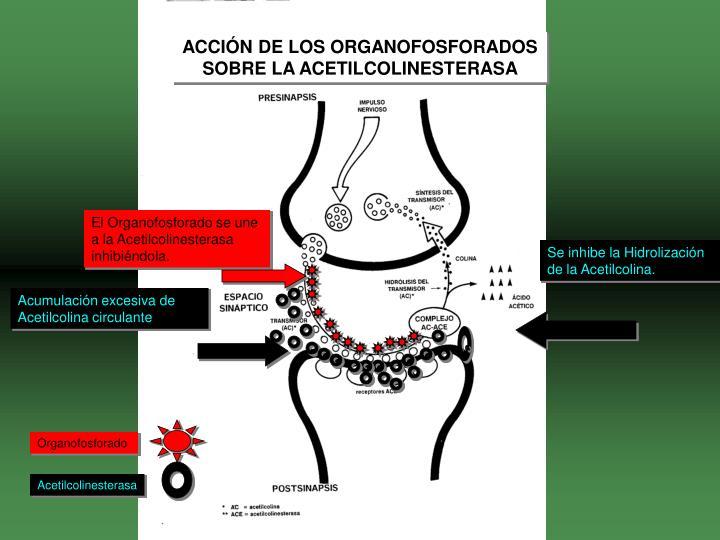 ACCIÓN DE LOS ORGANOFOSFORADOS SOBRE LA ACETILCOLINESTERASA