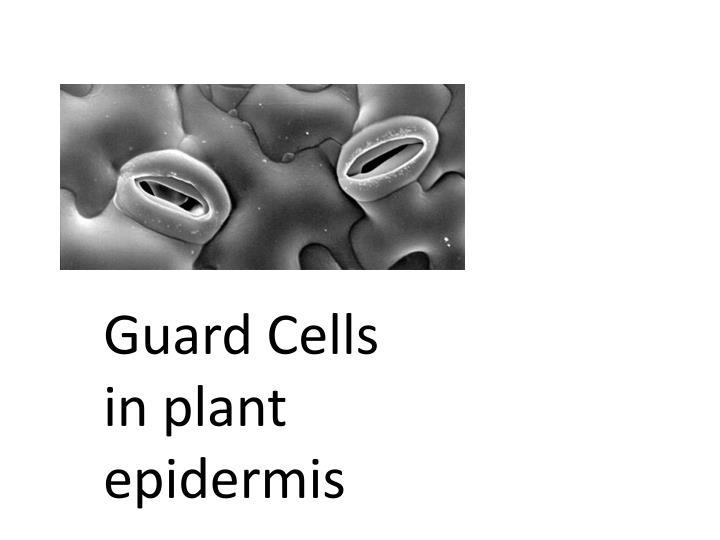 Guard Cells