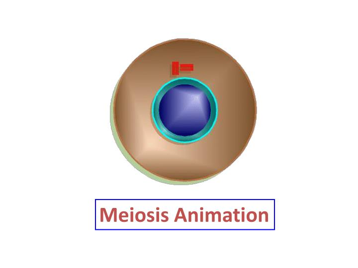 Meiosis Animation