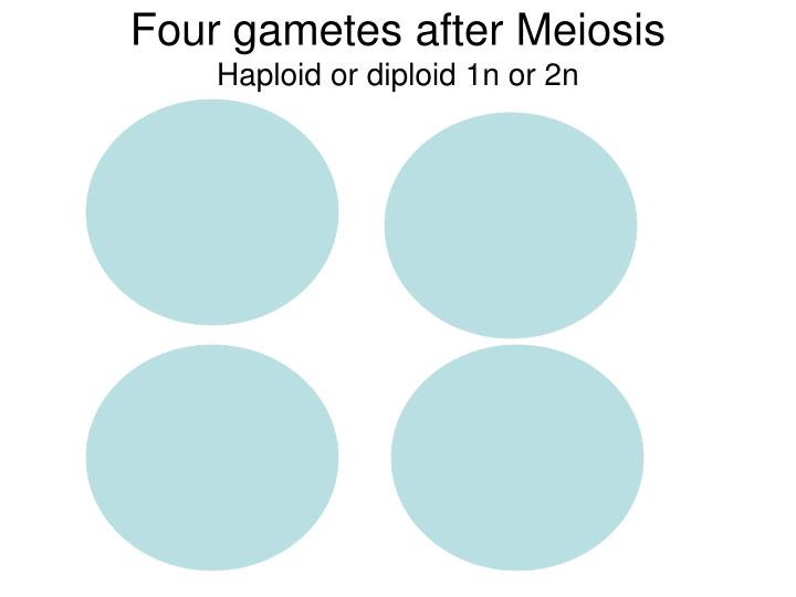 Four gametes after Meiosis