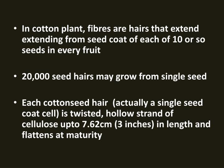 In cotton plant, fibres are hairs that extend extending from seed coat of each of 10 or so seeds in every fruit