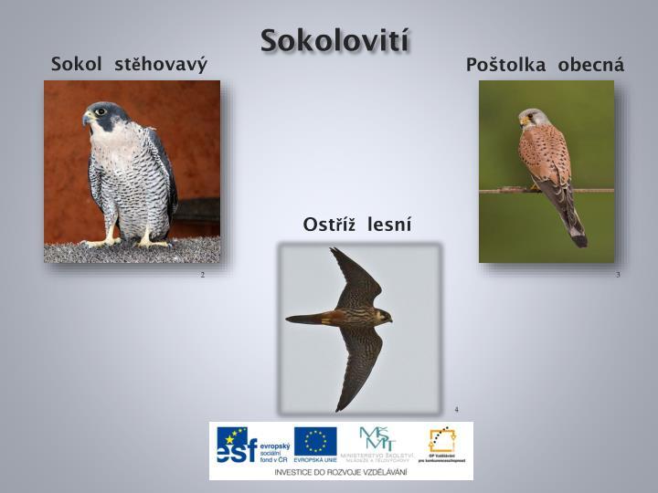 Sokolovití