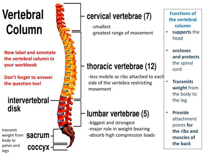 Functions of the vertebral column