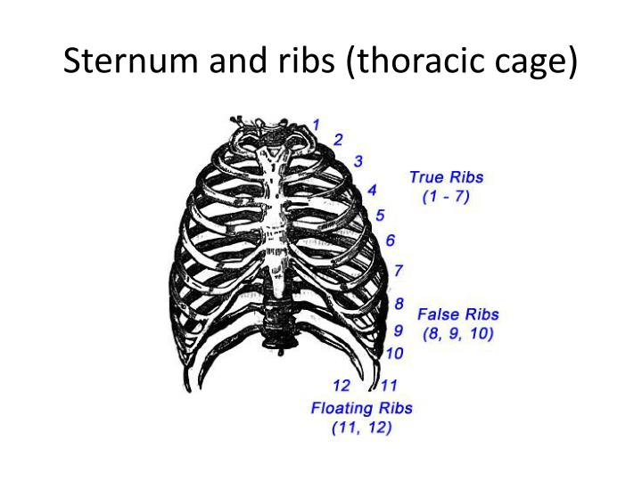 Sternum and ribs (thoracic cage)