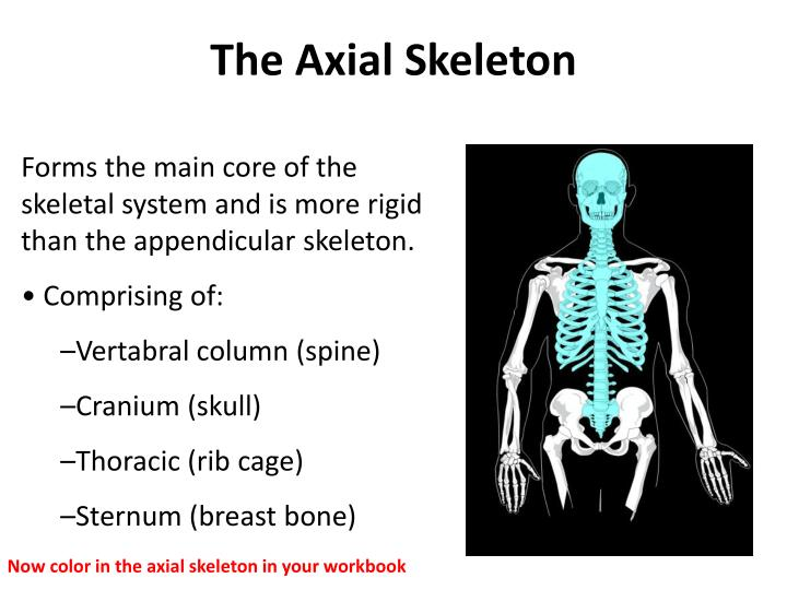 Forms the main core of the     skeletal system and is more rigid than the appendicular skeleton.