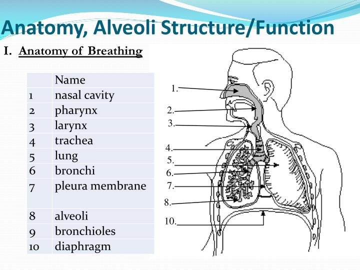 Anatomy, Alveoli Structure/Function