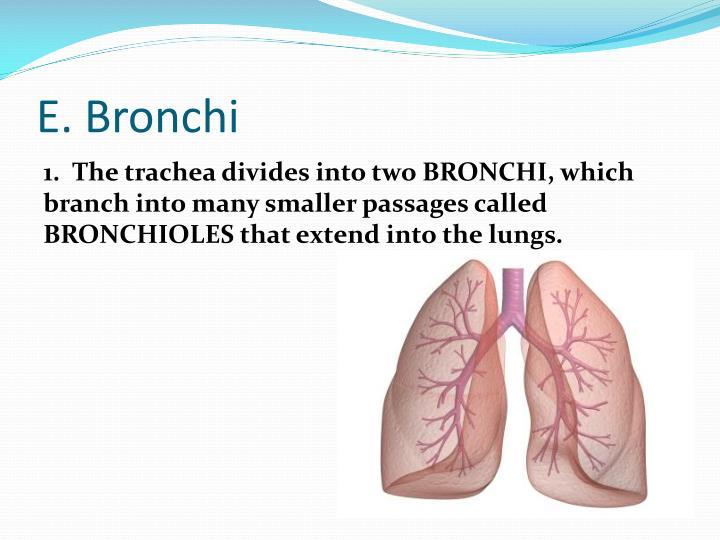 E. Bronchi