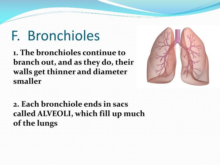 F.  Bronchioles