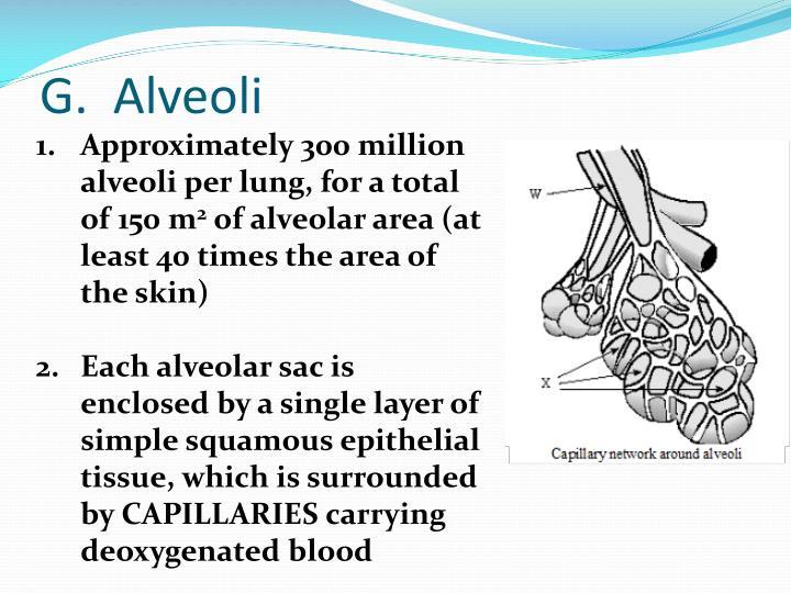 G.  Alveoli
