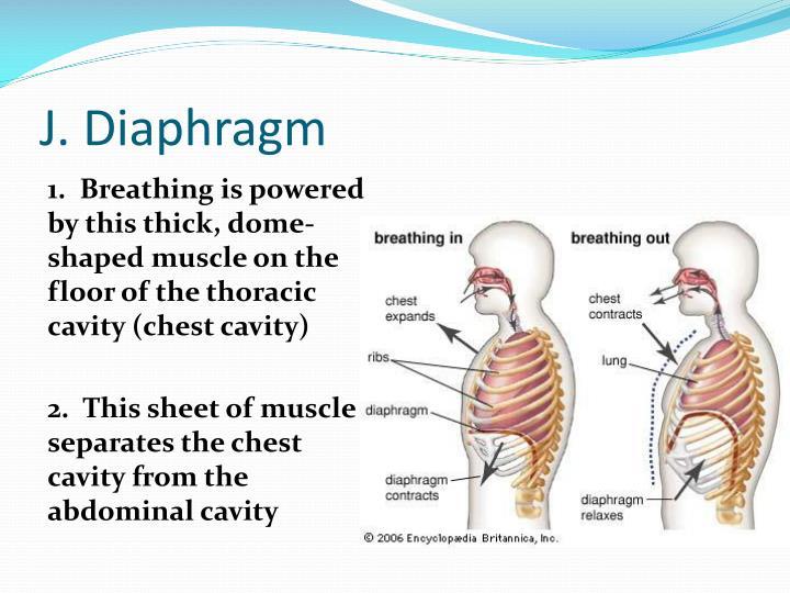 J. Diaphragm