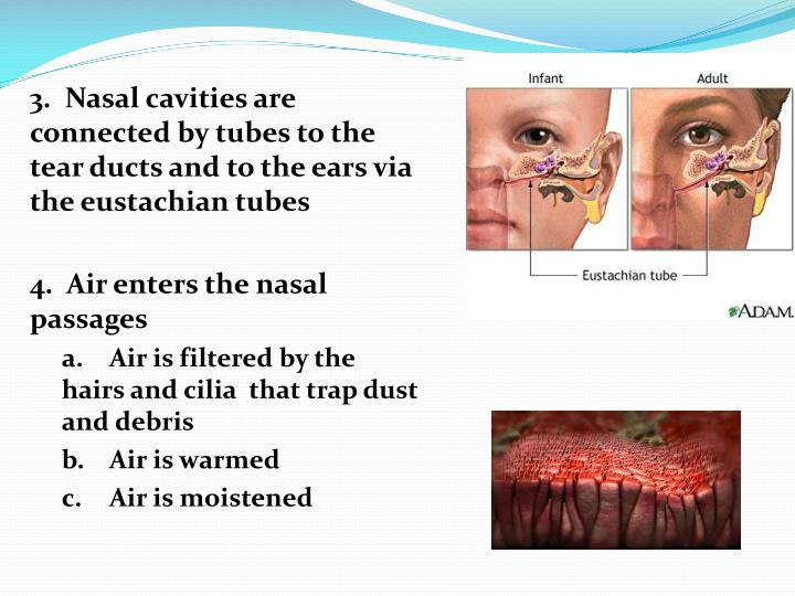 3.  Nasal cavities are connected by tubes to the tear ducts and to the ears via the