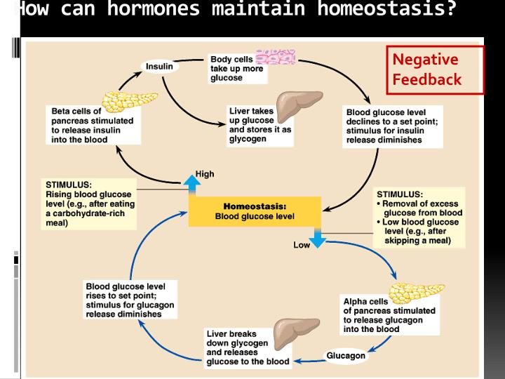 How can hormones maintain homeostasis?
