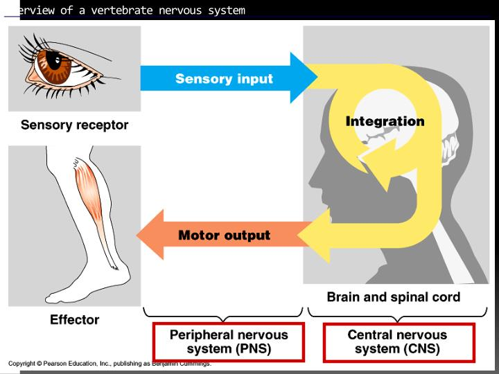 Overview of a vertebrate nervous system