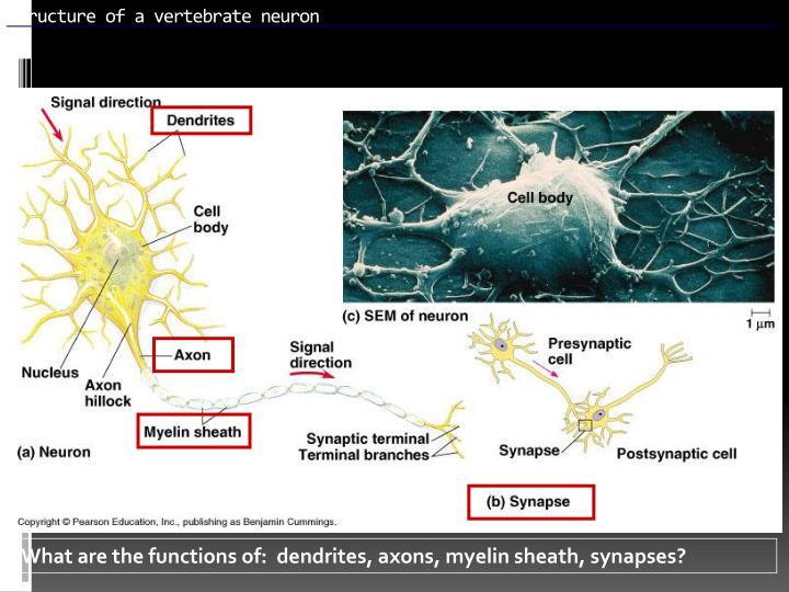 Structure of a vertebrate neuron