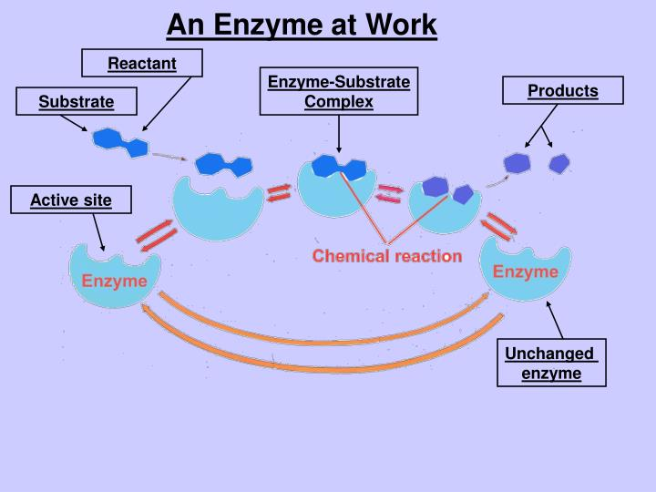 An Enzyme at Work
