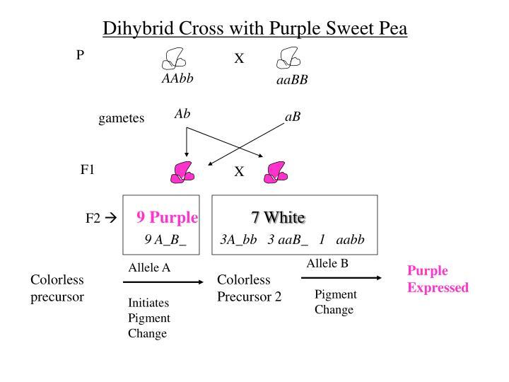 Dihybrid Cross with Purple Sweet Pea