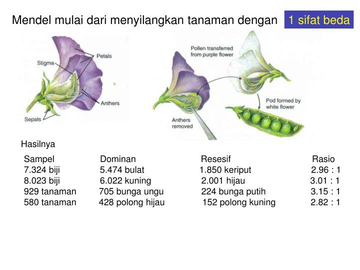 Mendel mulai dari menyilangkan tanaman dengan