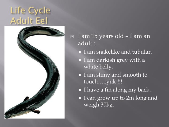 Life Cycle Adult Eel