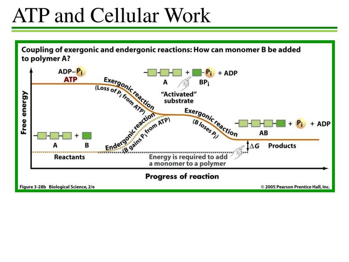 ATP and Cellular Work