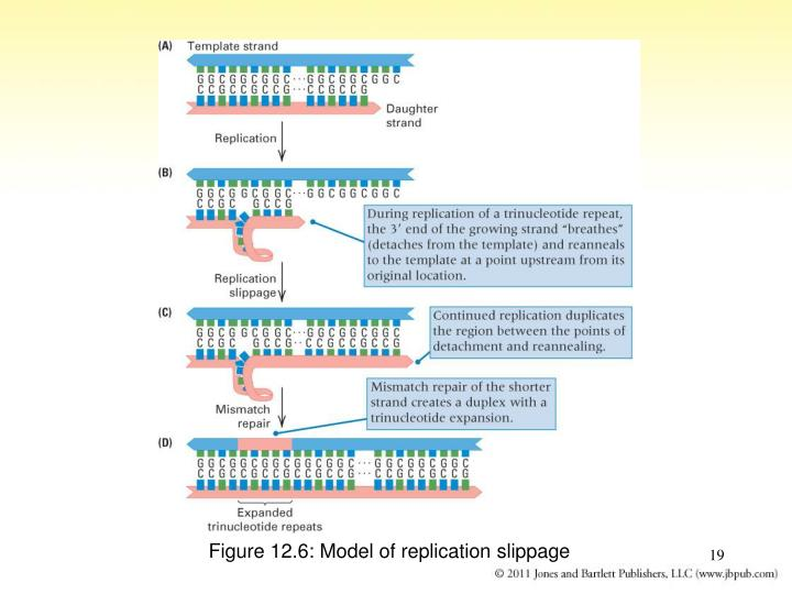 Figure 12.6: Model of replication slippage
