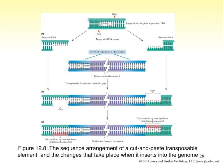 Figure 12.8: The sequence arrangement of a cut-and-paste transposable element  and the changes that take place when it inserts into the genome
