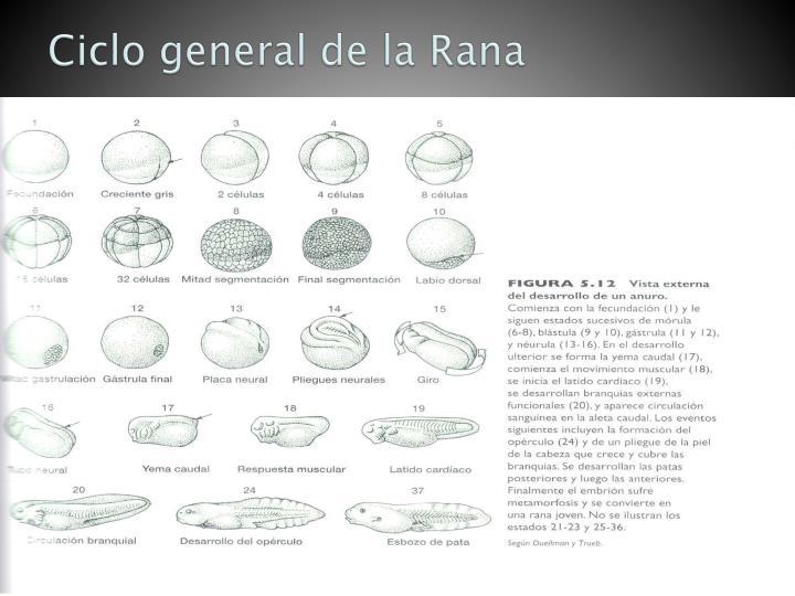 Ciclo general de la Rana