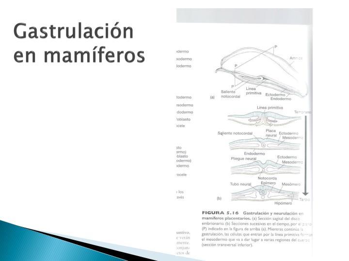 Gastrulación en mamíferos