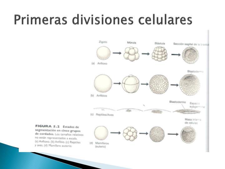 Primeras divisiones celulares