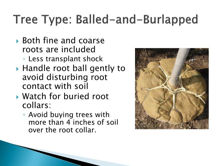 Tree Type: Balled-and-