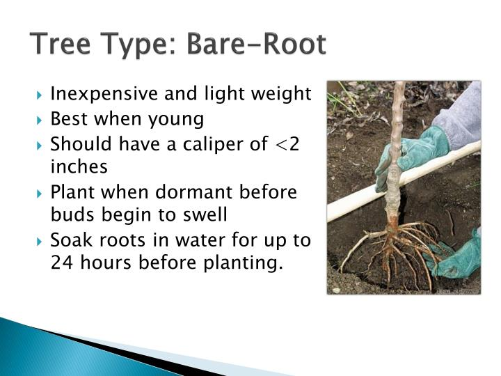 Tree Type: Bare-Root