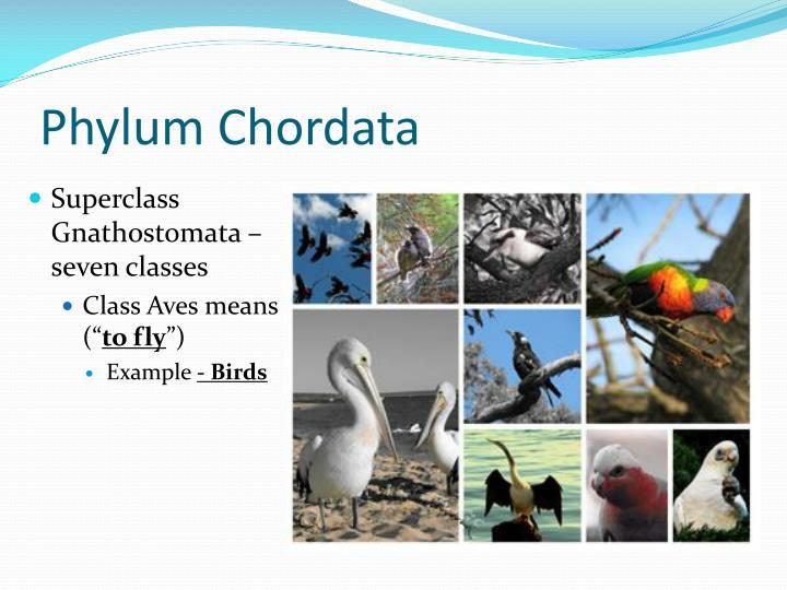 Chordata phylum examples