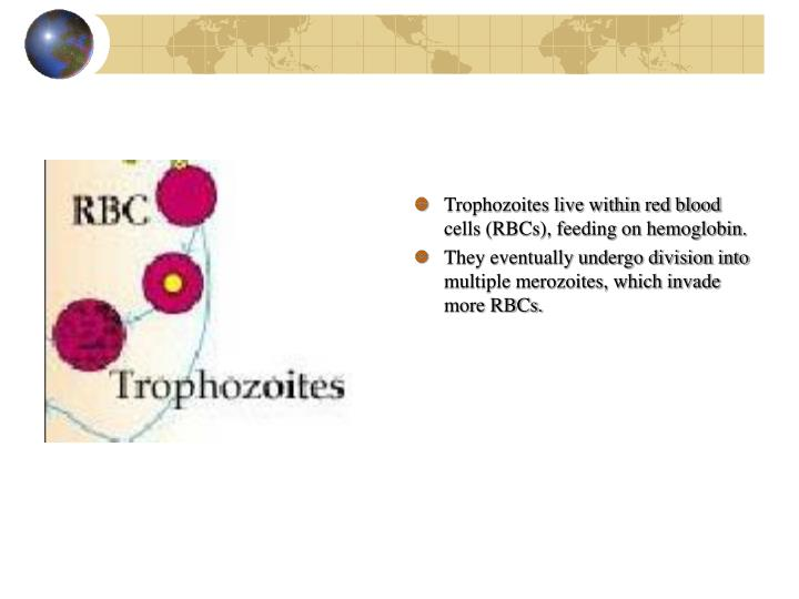 Trophozoites live within red blood cells (RBCs), feeding on hemoglobin.