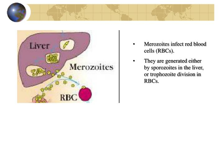 Merozoites infect red blood cells (RBCs).
